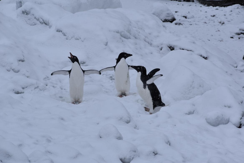 Adeli Penguins