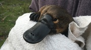 The platypus – life history, current threats and an uncertain future image